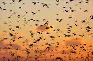 Starling Murmurationgimp